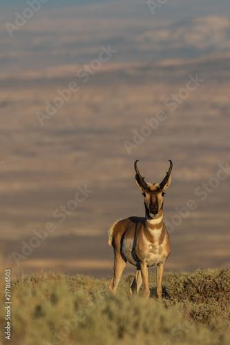 Poster Pronghorn Antelope Buck