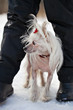 Chinese Crested Hairless dog hiding in the feet of his owner