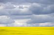 Prairie Canola Field Canada