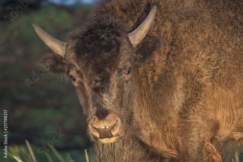 Foto Murales Young cow bison at dawn;  Custer S.P.;  South Dakota