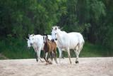 orlov mares at the riverside