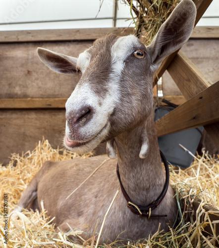 Foto Murales Goat 1