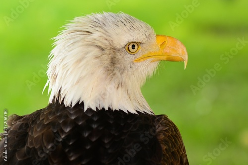 Foto Spatwand Eagle Head shot of a bald eagle (haliaeetus leucocephalus)