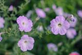 Gentle pink summer flowers in the garden. Floral background
