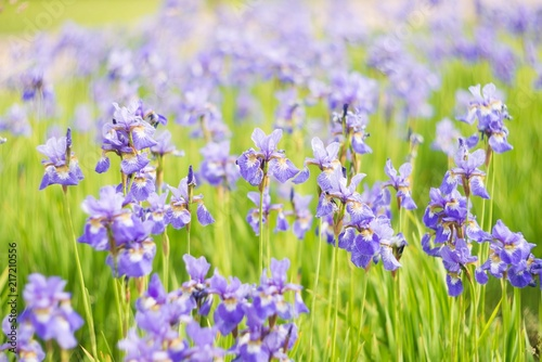 Aluminium Iris Iris flowers, summer field, outdoor. Background