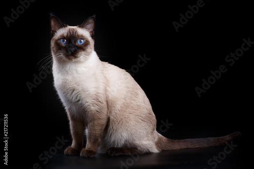 Thai cat on a black background