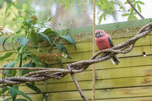 Foto Spatwand Papegaai Australian pink grass parakeet (Neopsephotus bourkii)