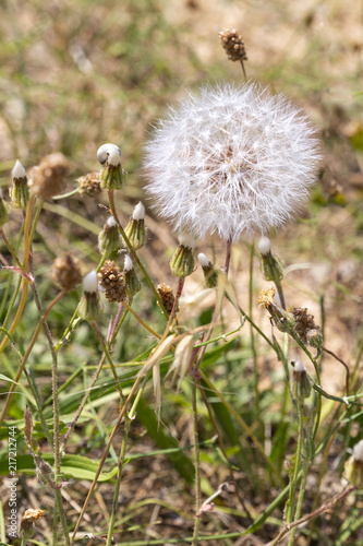 Dandelion in the natural environment. Copy space. - 217212744