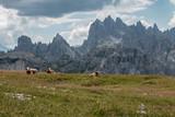 Krowy alpy