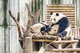 Two giant pandas resting after breakfast. Wistful panda bear