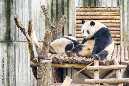 Poster Two giant pandas resting after breakfast. Wistful panda bear
