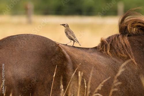 Vogel auf einem Pferderücken