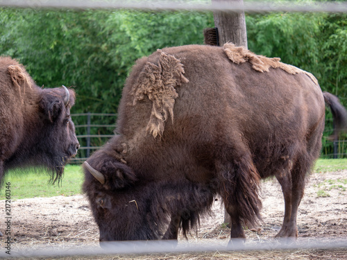 Canvas Bison American bison Bison bison with overgrown fur coat grazing inside fence