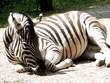 Schlafendes Zebra