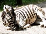 Schlafendes Zebra - 217264711