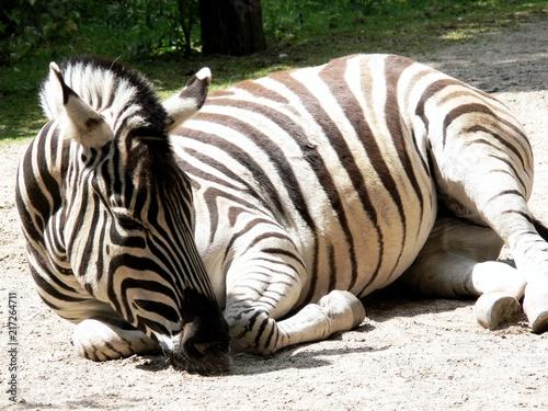 Poster Schlafendes Zebra