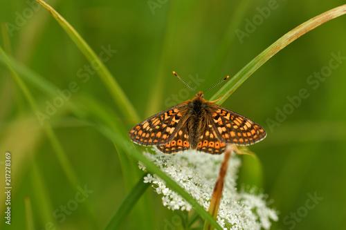 Canvas Vlinder Goldener Scheckenfalter