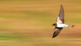 young barn swallow flies fast - 217279342