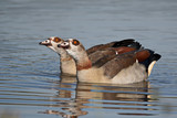 Egyptian goose pair swimming in harmony  - 217280526