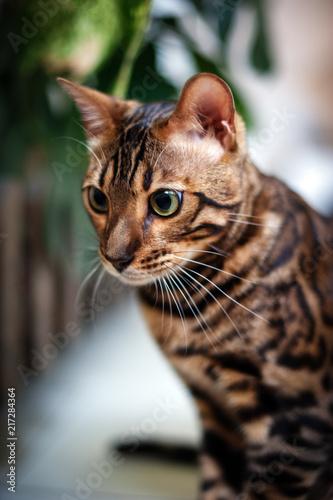 Foto Spatwand Kat Bengal cat looks wide open eyes