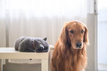 British short hair cat and golden retriever