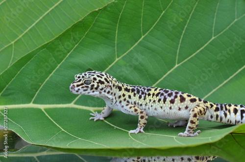 Poster Gecko