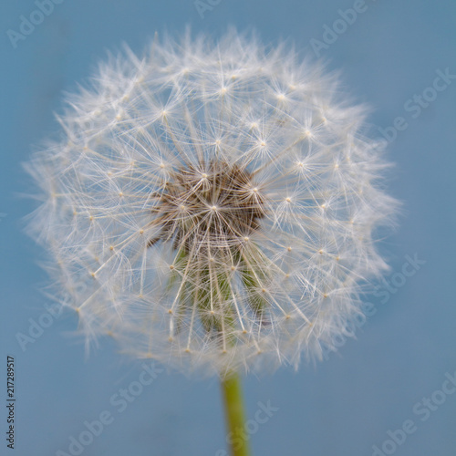 Close up of a dandelion seed head - 217289517