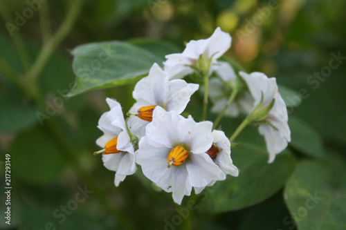 Foto Murales Flowering potato plants in the field. white flowers of Solanum tuberosum