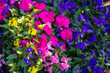 Blue lobelia, violet petunia and pink busy lizzy, floral background