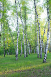 Birch grove in spring, green foliage, vertical composition - 217307342
