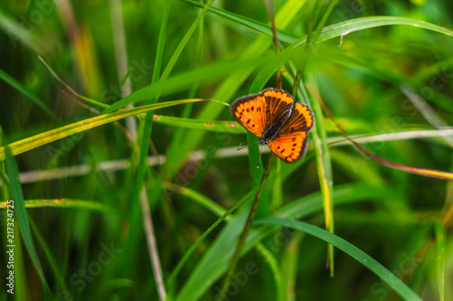 Canvas Vlinder butterfly