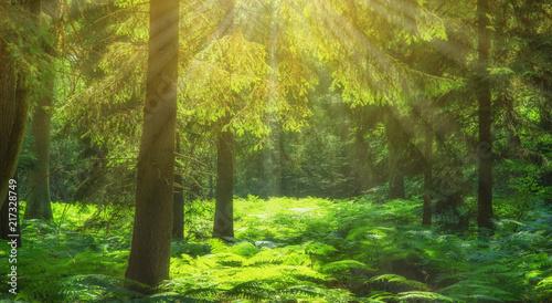 Canvas Pistache Landschaft Sonnenstrahlen im Fichtenwald mit Farn - Landscape Sunbeams in the spruce forest with fern