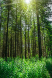 Landschaft Sonne strahlt durch hohe Nadelbäume auf Waldlichtung - Landscape Sun shines through high conifers on forest glade - 217329909