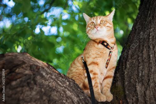Foto Murales red cat on a leash, sitting on a tree