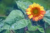 Sunflower in the summer garden. Flowers garden.