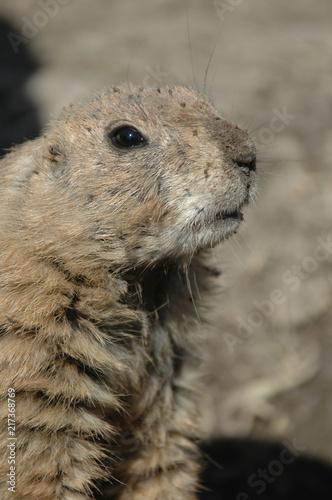 Poster Prairie dog