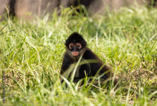 Foto Spatwand Aap baby spider monkey has spotted you