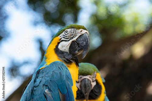 Fotobehang Papegaai vibrant blue and gold macaw poses for a head shot