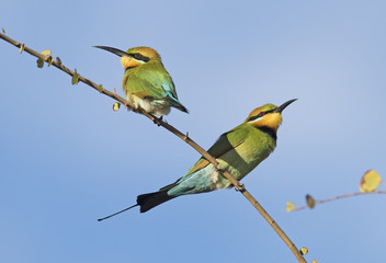 rainbow bee eaters in outback Queensland, Australia.