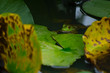 睡蓮の葉に掴まっているカエル