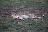Cheetah relaxing and laying down in Tanzania