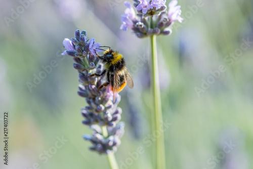 Foto Spatwand Lavendel Honey Bees