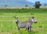 Portrait of zebras in savanna, Mikumi national park, Tanzania