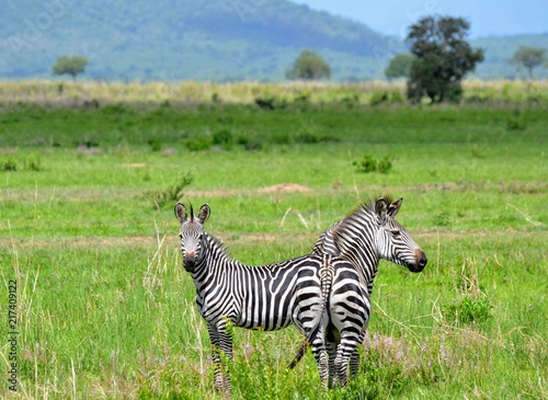 Poster Portrait of zebras in savanna, Mikumi national park, Tanzania