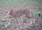 Cheetah (Acinonyx jubatus) walking in grassland -Tanzania