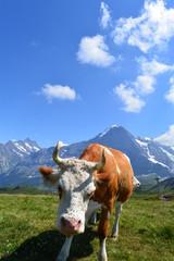 Fleckvieh/Simmentaler Kühe auf der Weide im Berner Oberland