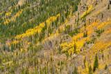 Aspen grove at autumn in Rocky Mountains - 217430523