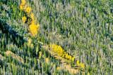 Aspen grove at autumn in Rocky Mountains - 217430536