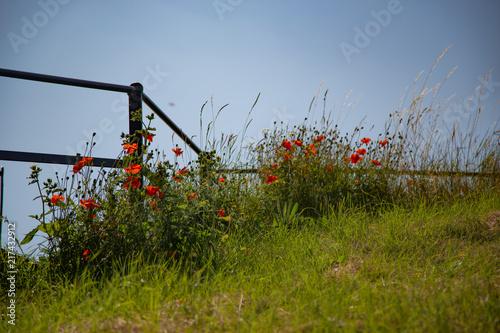 In de dag Klaprozen Poppy field