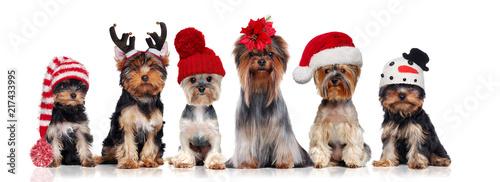 Leinwanddruck Bild Yorkshire terriers wearing different christmas hats